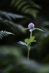 Fern and clover flower (Michel Couprie) Tags: light flower fern macro nature composition canon eos flora michel clover postprocessing couprie ef10028lmacro