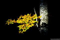 leaves (Luca-Anconetani) Tags: autumn light shadow italy parco art nature foglie alberi contrast woods nikon ombra sigma giallo autunno nero luce marche bosco faggio 24105 contrasto d610 sibillini lucaanconetani