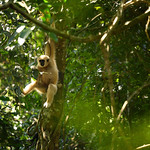 White-handed Gibbon, Hylobates lar in Khao Yai national park thumbnail