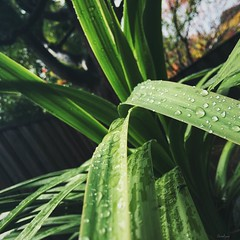 Rain on Plants is a beautiful thing (Carolyne Sysmans) Tags: california plants plant green nature water rain contrast days rainy storms waterdroplets 6s iphone6 iphoneonly iphone6s