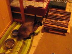 Sherman, Toki and Zuzu (Anomieus) Tags: pet cute rabbit bunny bunnies animal furry konijn conejo tail ears rabbits paws coney coelho lapin kaninchen houserabbit coniglio cottontail  cony kanin  krlik leporidae nyl  iepure  leporid    kuni