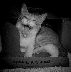 Kim terrifying in a box (mcg0011) Tags: bw pet cute blancoynegro kitten kat feline kim box gato felino gatto gatti mycat mascota kot gatita mykitty katt monocromatico monchat meinekatze terrorifica