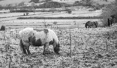 Shetland Pony (Bosca Fotograf) Tags: ireland horses blackandwhite horse art nature field rural photography blackwhite wildlife pony fields equestrian shetland greencastle ulster tyrone countytyrone