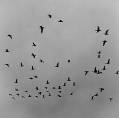 Birds 1 (markorsr) Tags: birds bronica mediumformat bw blackandwhite sky murky sqa trix xtol
