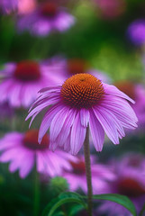 coneflower (kderricotte) Tags: helios44m458mmf2 bokeh depthoffield flower coneflower echinacea outdoor plant sonya6000