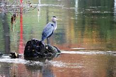 heron (joybidge (0n vacation)) Tags: trishcanada naturepatternscanada victoriabc butchartgardens trees tre