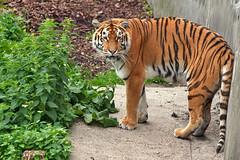 Kaliningrad_Zoo_2011_06_51 (Фото Москвы Moscow-Live.ru) Tags: тигр