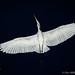 Passing Egret