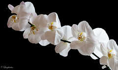 Simplicity..... (Lucy Burtin) Tags: flower plant blossom organicpattern tree orchid