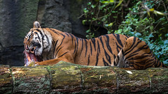 Mmmm Lunch (duncan_mclean) Tags: zoo chew lunchtime endangered edinburgh predator nature eating lunch cat sumatrantiger eat teeth meat animal