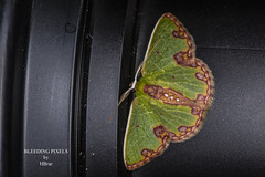 A87A4287 (Bleeding Pixels) Tags: rainforest ecology wildlife outdoors macro jungle animals ecuador southamerica tropics amazon shiripuno insect lepidoptera entomology