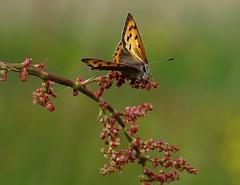Vuurvlinder (Omroep Zeeland) Tags: vlinder vuurvlinder dishoek
