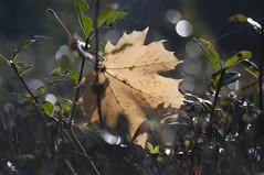The Fallen (milance1965) Tags: autumn herbst macro sonne laub blatt nikon d90 sigma fall fallen ruhe silence wald gelb
