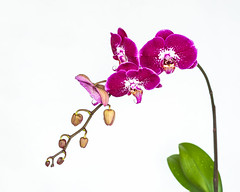 The Beauty of Pink (mightymuffinful) Tags: orkide orqudea orchide fleur flower blomst orchid flora nature