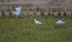 Garcetas (cazador2013) Tags: aves albufera agua maleza garcetas
