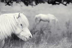 Himmelstorp, July 2, 2016 (Ulf Bodin) Tags: himmelstorp sverige kullen nature hst scandinavia outdoor animal canoneos5dmarkiii summer skne canonef100400mmf4556lisiiusm ng hstar scania horse sweden meadow hst hstar skne ng skneln se