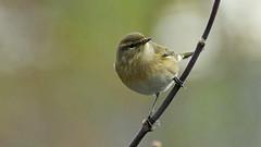 Zilpzalp  -  chiffchaff  -  Lui piccolo (karinrogmann) Tags: chiffchaff luipiccolo vogel bird uccello zilpzalp