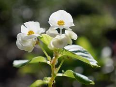 (Begonia) 1 (wakyakyamn) Tags: em10markii flower omd olympus   begonia