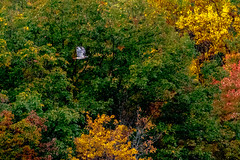 Red-Tailed Hawk (Michael Bateman) Tags: bird birdraptor fall inflight redtailedhawk wildlife kinnelon newjersey unitedstates us
