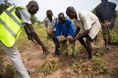 Harvesting groundnuts (FAOemergencies) Tags: fao food agriculture crops cultivation cultivators farmers farming fish foodsecurity sorghum aweil northernbahralgazal southsudan emergencies africa resilience groundnuts