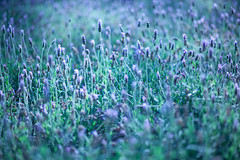 Lavender, Mexico City (Geraint Rowland Photography) Tags: lavender flowers light nature shallowdepthoffield dof purple mexico mexicocity df distritofederal centralamerica park publicspace palaciodebellaartes alamedacentral canon geraintrowlandphotography artistic artisticphotography