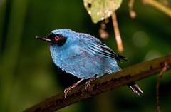 IMG_0438 Masked Flowerpiercer (suebmtl) Tags: ecuador napoprovince blue guangolodge maskedflowerpiercer diglossopiscyanea