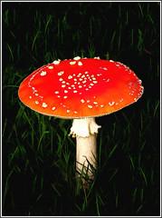 mushroom - amanita muscaria (vernon.hyde) Tags: mushroom toadstool flyagaric redmushroom hallucinogen photomanipulation
