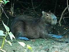 Capybara - Las Pampas - Bolivia (pacoalfonso) Tags: pacoalfonsocom bolivia travel wildlife pampas sabana capybara rodent