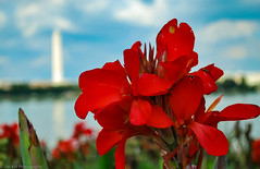 Red Washington (fatkid_photography) Tags: washington monument memorial outdoor dc flower red scenery nature plant d60