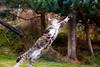 IMG_1837 (TvdMost) Tags: bwc britishwildlifecentre felissilvestris scottishwildcat wildcat wildekat