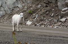 Waiting For A Ride ... (AnyMotion) Tags: mountaingoat schneeziege oreamnosamericanus juvenile jungtier animal animals tiere nature natur 2016 anymotion travel reisen heckmanpass highway20 britishcolumbia canada kanada 7d2 canoneos7dmarkii