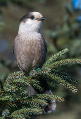 _DSC4915 (doug.metcalfe1) Tags: 2016 algonquinprovincialpark dougmetcalfe fall grayjay nature ontario outdoor bird