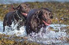 Chocolates in a Row.. (Michael C. Hall) Tags: labrador chocolate wading sea water paddling splash splashing sun sunlight
