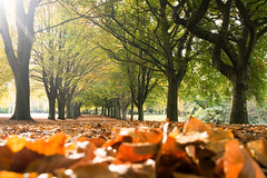 Lowest of the low (Paul C Stokes) Tags: clifton parade bristol uk autumn leaves brown avenue trees carpetofleaves sony sonya7r a7r zeiss zeiss1635 1635 morning conditions light green filterd plant tree outdoor serene landscape forest park lowpov low pov pointofview
