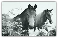 Just because (Jan 130) Tags: horses ponies topaz picmonkey silverscreen portugueseguitar jan130 carlosparedes