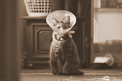 The sudden depths of confusion, and how to muster on (Captions by Nica... (Fieger Photography)) Tags: kitten cat catmoments portrait catportrait feline pet animal indoor sepia head cone gear vets vet neutered