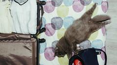 24.10.2016 (Fregoli Cotard) Tags: packing suitcase flight cat kitty sleepykitty sleep sleepycat kitten greykitty cutekitty fluffykitty funnycat funnykitty pet dailyjournal dailyphoto dailyphotograph daily 366 366daily 366dailyproject 366days 366dailyphoto 366dailyjournal 366project 366photoproject 366photos photojournal photodiary photographicaljournal everydayphoto everydayphotography everydayjournal 297366 297of366 britishlonghair