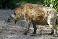 Hyne tachete_MEMERE (Passion Animaux & Photos) Tags: hyene tachetee spotted hyena amneville zoo france