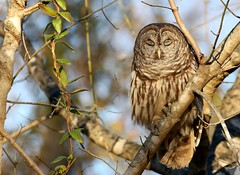 Barred Owl (Mary Sonis) Tags: