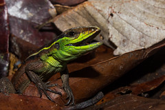 Kentropyx calcarata (Albedi Junior) Tags: lizards reptile repteis brazil braziliam herpetology herpetologia herp dragon nature natureza natgeo ngc animal amazon amaznia matogrosso kentropyx t3i canon lagarto