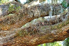 Symbiosis (halifaxlight) Tags: unitedstates southcarolina beaufort tree branches plants symbiosis nature moss