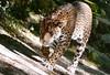 🐱 Jaguar 🐱 (Boutillier Geoffrey) Tags: jaguar colors beauval griffe dent fourure yeux tache afrique jungle nature force couleurs animaux zoo félin