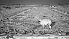 Snow is my favorite dessert (bert • bakker) Tags: durgerdam sneeuw snow gras grass schaap sheep weide meadow lowsun laagstaandezon