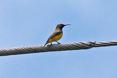 _MG_9357 Olive-backed Sunbird (Cinnyris jugularis) (ajmatthehiddenhouse) Tags: 2015 australia qld bird cinnyris jugularis cinnyrisjugularis yellowbelliedsunbird olivebackedsunbird queensland