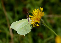 Brimstone------- Gonepteryx rhamni (creaturesnapper) Tags: uk europe butterflies lepidoptera brimstone pieridae coliadinae