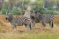 Zebra (Thomas Retterath) Tags: africa travel animals tiere wildlife urlaub ngc safari zebra afrika botswana mammals allrightsreserved herbivore 2014 okavangodelta equidae säugetier pflanzenfresser kwara thomasretterath epuusquagga copyrightthomasretterath