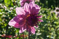 Dahlia rose (Guy_D_2010) Tags: dahlia flower flor blumen blomma quintaflower bunga  blume fiore blomst gul virg hoa bloem lill blm iek  kwiat blodyn   lule kukka d90   cvijet  blth cvet  zieds  gl kvtina kvetina floare  chaumontsurloire languageofflowers   fjura    voninkazo