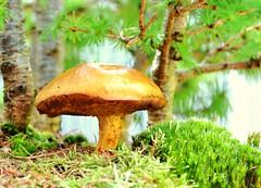 DSC_0214 (Kalbonsai) Tags: macro mushroom 50mm nikon bonsai lerche paddestoel pilz larks lariks dreiländersee d5100 naturshot