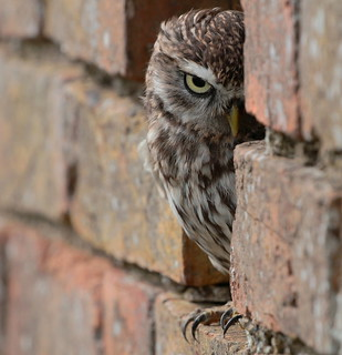 Little Owl - the stare (Explored)