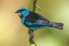 Shining Blue Dacnis (Jeff Dyck) Tags: blue birds costarica bluedacnis jeffdyck dacniscayana dacnis turquoisehoneycreeper